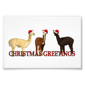 Three Alpaca Santas Photo Print