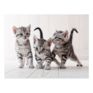 Three American Shorthair Playing Postcard