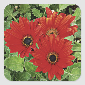 Three as they bloom in red square sticker