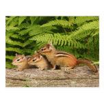 three baby chipmunks post card