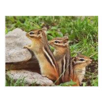Three Baby Chipmunks Postcard