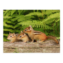 three baby chipmunks postcard