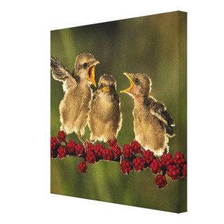 Three Baby Lanius Schach Birds Canvas Print