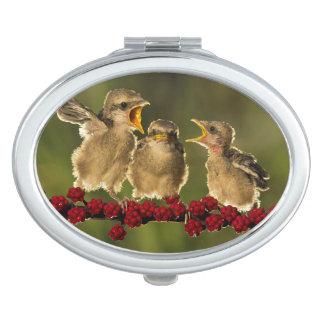 Three Baby Lanius Schach Birds Compact Mirror