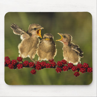 Three Baby Lanius Schach Birds Mouse Pad