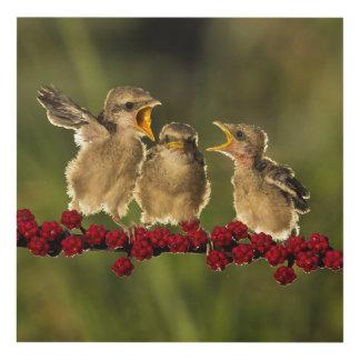 Three Baby Lanius Schach Birds Panel Wall Art