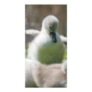 Three Baby Swan Cygnet ducklings cuddling together Card