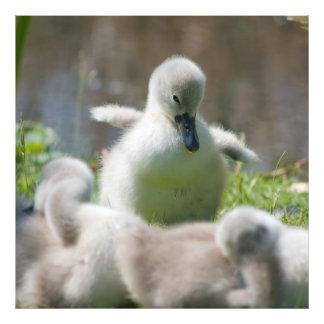 Three Baby Swan Cygnet ducklings cuddling together Photo Print