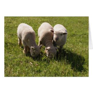 Three Babydoll Lambs Greeting Card