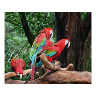 Three beautiful red, green and blue parrots poster