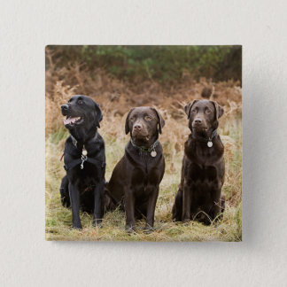 Three Black Labrador retrievers Pinback Button