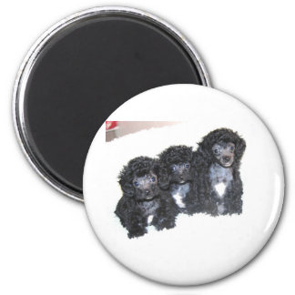 Three Black Silver Poodle Puppies Magnet