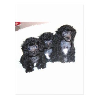 Three Black Silver Poodle Puppies Postcard