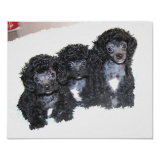 Three black Toy Poodle puppies Poster