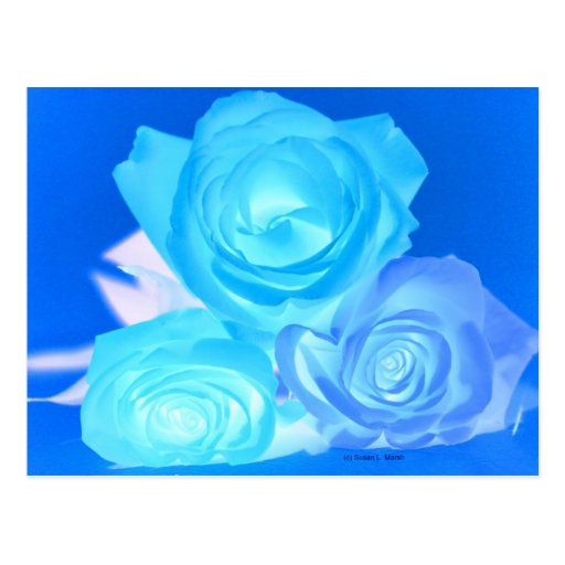 Three blue roses inverted picture postcard
