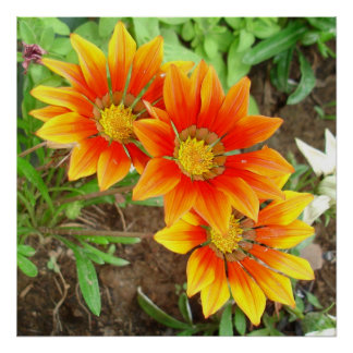 Three Bright Colored Gazania Flowers and Garden Poster