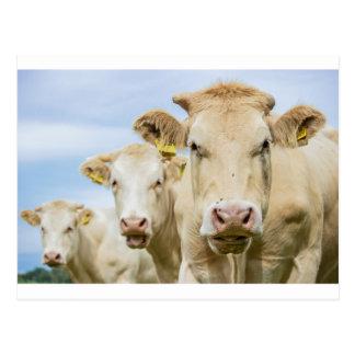 Three brown cows postcard