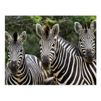 Three Burchell's Zebra (Equus Burchellii) Stand Postcard