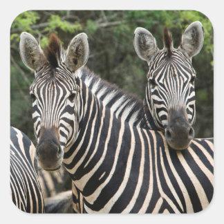 Three Burchell's Zebra (Equus Burchellii) Stand Square Sticker