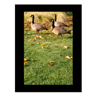 Three Canadian Geese Postcard