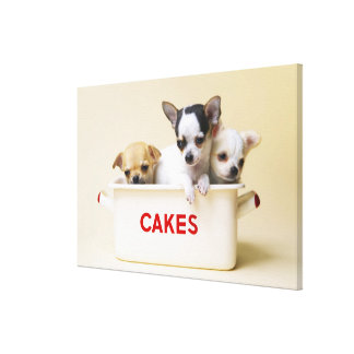 Three chihuahua puppies in cake tin canvas print