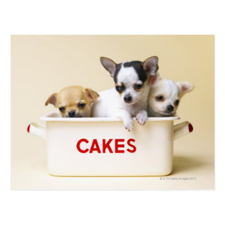 Three chihuahua puppies in cake tin postcard