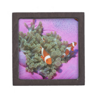 Three Clown Fishes on Sea Anemone, Andaman Sea Jewelry Box