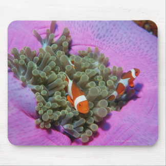 Three Clown Fishes on Sea Anemone, Andaman Sea Mouse Pad
