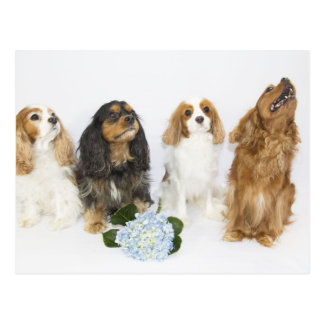Three Colors of Cavalier King Charles Spaniels Post Card