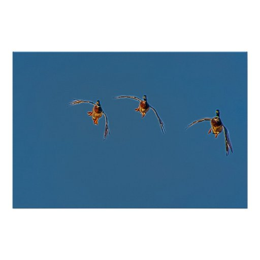 Three Coming in Hot-Flying Ducks Poster