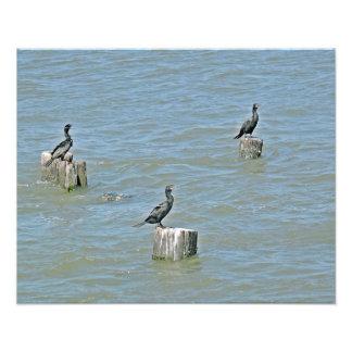 Three  Cormorants Photo