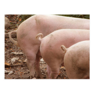 Three curly pigs tails Postcard