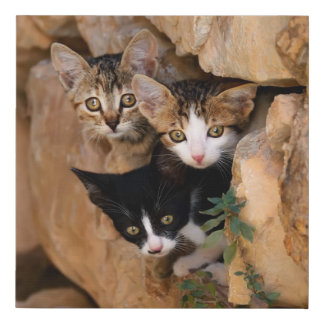 Three Cute Curious Cat Kittens Faces Funny Photo , Faux Canvas Print