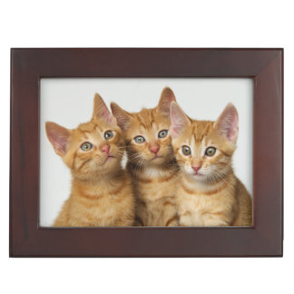 Three cute ginger kittens side by side memory box