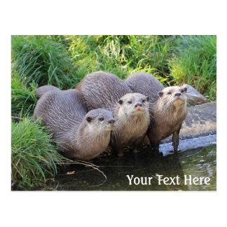 Three Cute Otters Wildlife Photography Postcard