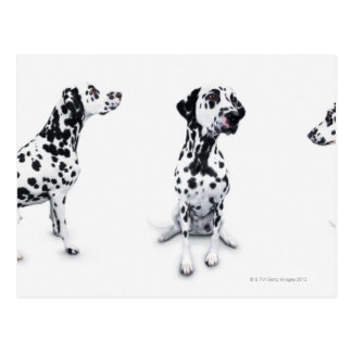 Three Dalmatians Postcard