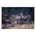 Three Deer in Snow - Sierra Nevadas Posters