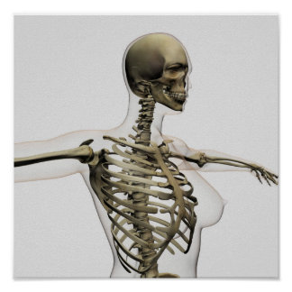 Three Dimensional View Of Female Rib Cage Poster