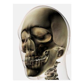 Three Dimensional View Of Human Skull And Teeth Postcard