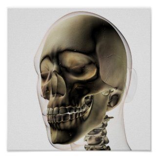 Three Dimensional View Of Human Skull And Teeth Poster