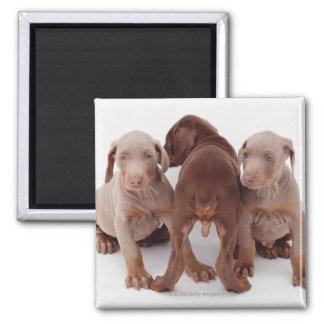 Three Doberman pinscher puppies 2 Inch Square Magnet