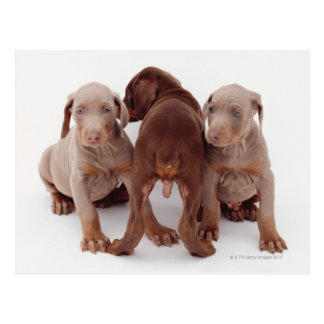 Three Doberman pinscher puppies Postcard