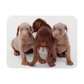 Three Doberman pinscher puppies Rectangular Photo Magnet