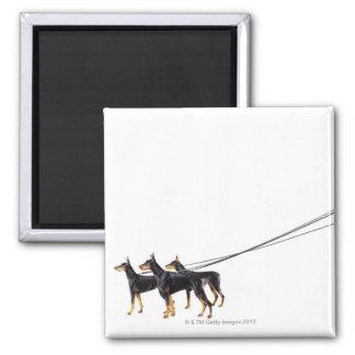 Three Dobermans on leash Magnet