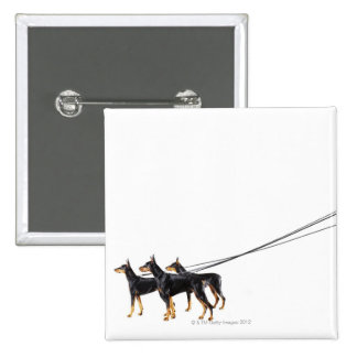 Three Dobermans on leash Pinback Button