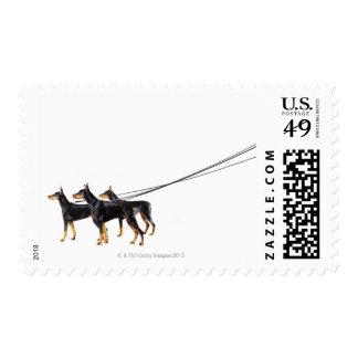 Three Dobermans on leash Postage