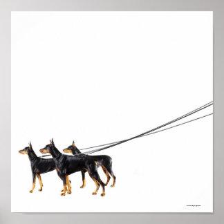 Three Dobermans on leash Poster