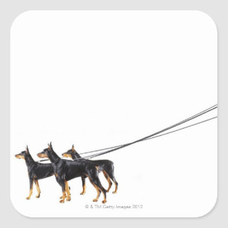 Three Dobermans on leash Square Sticker