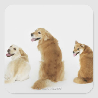 Three dogs looking at camera square sticker