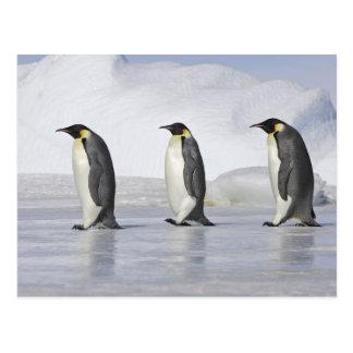 Three Emperor Penguins, Snow Hill Island Postcard
